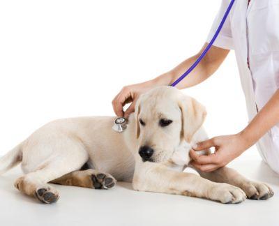 Vakcinacija i čipovanje psa - 1600 rsd